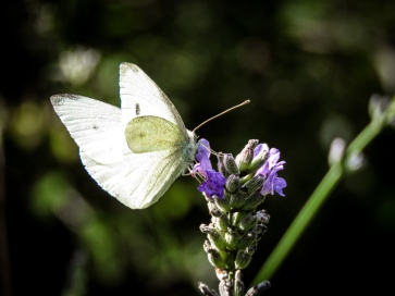 cabbage white butterfly 0270