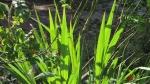 Crocosmia leaves