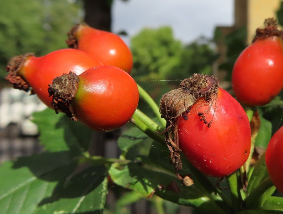 August rosehips 2